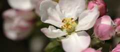 Apple blossom in April, in the fruit orchard at Cotehele, Cornwall.