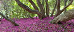 Deep pink rhododendron petals scattered on the ground in woodland at Leith Hill, Surrey, in May.