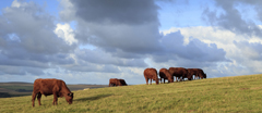 Cattle grazing at Black Cap, South Downs, East Sussex.