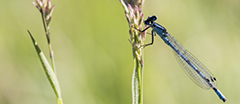 A damselfly resting on a blade of common reed at Prior Park Landscape Garden, Somerset.